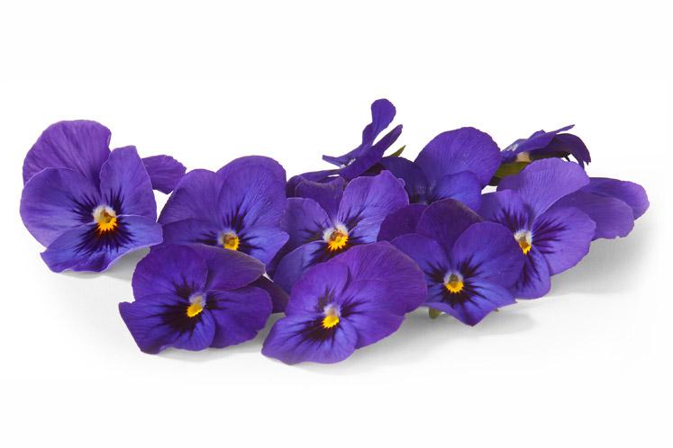 ban_mag_voorjaar_verse_bloemetjes_viooltjes_blauw_1802_747x498.jpg