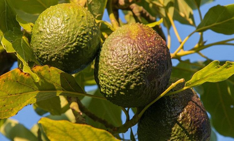 Salud avocadoproducten