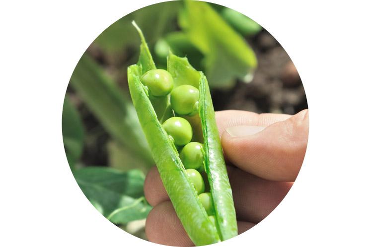 Doperwten | Groene groenten