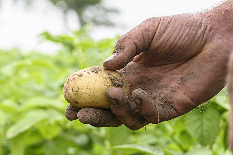 Tiger aardappel