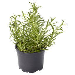 ROSEMARY POT BIO ROSMARINUS OFFICINALI