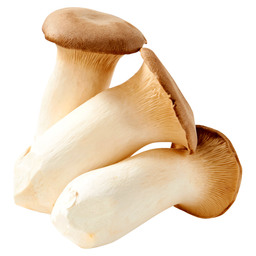 KING OYSTER MUSHROOM MEDIUM