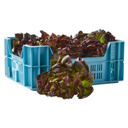 SALANOVA BUTTER  LETTUCE MULTI-LEAF RED