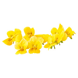 VIOLETS YELLOW SMALL