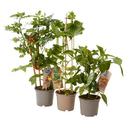 MIX SNACK CUCUMBER/PEPPER/CANDY PLANT