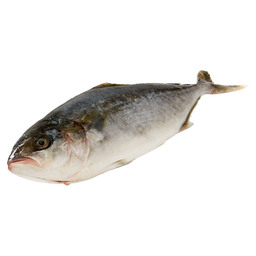 DUTCH YELLOWTAIL