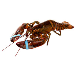 LOBSTER 500/600 CANADA