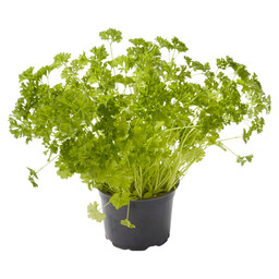 PARSLEY POT BIO