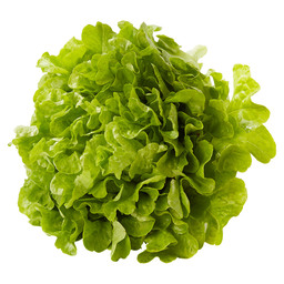 OAK LEAF LETTUCE GREEN BELGIUM