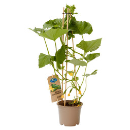 SNACK CUCUMBER, PLANT WITH EDIBLE FRUITS