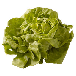 LETTUCE HOLLAND