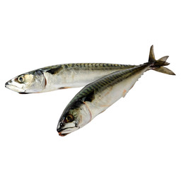 MACKEREL 500/600