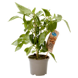 SNACK PEPPER ORANGE, PLANT WITH EDIBLE F