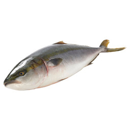 YELLOWTAIL KINGFISH HIRAMASA