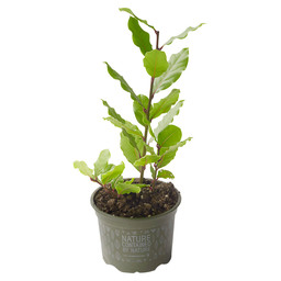 LAUREL POT BIO