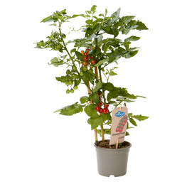CANDYTOM BERRYTOMATO, PLANT WITH EDIBLE